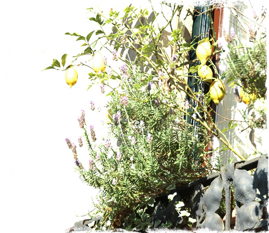 lemon_tree_1